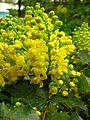 Mahonia aquifolium flowers 01.JPG