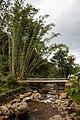 Mahua Sabah Bamboo-trees-at-Sungai-Mahua-01.jpg