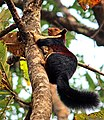 Malabar giant squirrel (26784736221).jpg