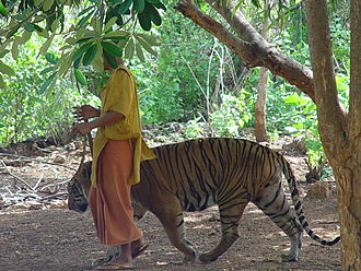 Monk walking tiger on a leash Male Tiger, Tiger Temple, Thailand.jpg