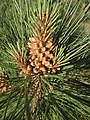 Male cone of Coulter pine.jpg