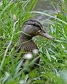 Mallard (Anas platyrhynchos) - Kitchener, Ontario 01.jpg