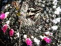 Mammillaria klissingiana (5766117078).jpg