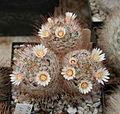 Mammillaria pennispinosa 03.jpg