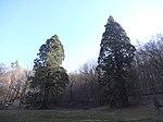 Mammutbäume in christianental 2019-02-24 -1.jpg