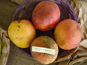 Bailey's Marvel - Bailey's Marvel mangoes at the Redland Summer Fruit Festival, Fruit and Spice Park, Homestead, Florida