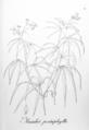Manihot pentaphylla Pohl46.png