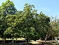 Manilkara zapota - Fruit and Spice Park - Homestead, Florida - DSC09126.jpg
