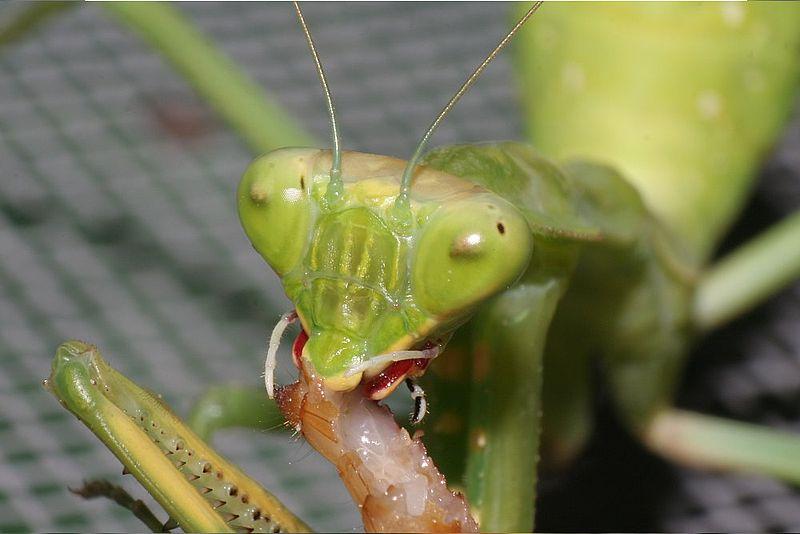 Mantis religiosa devorando