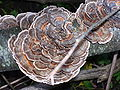 Many-colored Polypore.jpg