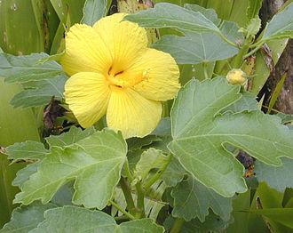 Hawaiian hibiscus - Image: Maohauhele