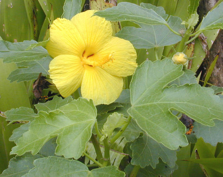 Ma'o Hau Hele, Hibiscus brackenridgei, Hawaii, endemic