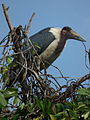 Marabou Stork Leptoptilos crumeniferus in Tanzania 4708 cropped Nevit.jpg