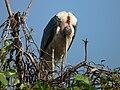 Marabou Stork Leptoptilos crumeniferus in Tanzania 4745 cropped Nevit.jpg