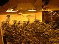 Marijuana031904 fig1.jpg