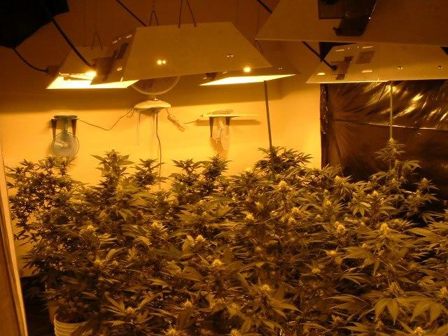 Marijuana031904 fig1