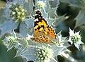 Mariposa de los cardos - papallona dels cards - Painted Lady - Vanessa cardui 05 (230416250).jpg