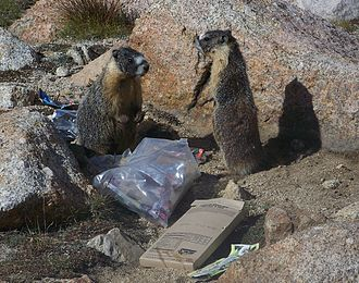 Yellow-bellied marmot - Marmots eating trash left by backpackers at Trail Camp near Mount Whitney, CA