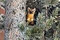 Marten in a tree (99f5cfa2-054b-4e09-a448-64565f944dd2).jpg