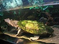 Matamata třásnitá
