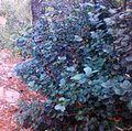 Maurocenia frangularia - Hout Bay Suikerbossie.jpg