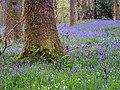 May Bluebells.jpg
