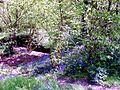 May Bluebells - geograph.org.uk - 1305157.jpg