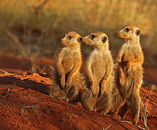 Meerkat species of small carnivoran in the mongoose family (Herpestidae)