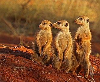 Meerkat - A mob of meerkats at the Tswalu Kalahari Reserve in South Africa.