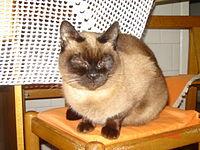 Um gato-siamês em seu ambiente doméstico.