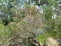 Melaleuca sabrina (habit).JPG