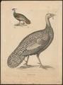 Meleagris ocellata - 1700-1880 - Print - Iconographia Zoologica - Special Collections University of Amsterdam - UBA01 IZ16900314.tif