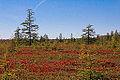 Mer Bleue Bog (10076579793).jpg