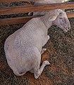 Merinolandschaf sheep.jpg