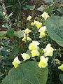 Mersin-Arslanköy Çiçekleri 13.jpg