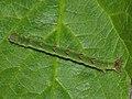 Mesoleuca albicillata (larva) - Beautiful carpet (caterpillar) - Ларенция малинная (гусеница) (40914415262).jpg