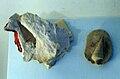 Metacerithium.jpg
