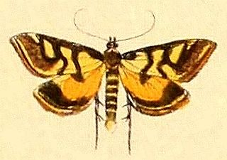 <i>Metallarcha</i> Genus of moths