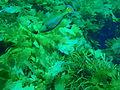 Meuschenia galii Bluelined leatherjacket PC280375.JPG