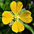 Mexican Primrose Willow (Ludwigia octovalvis) (7331550740).jpg