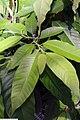 Michelia champaca 12zz.jpg