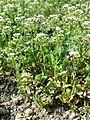 Microthlaspi perfoliatum sl1.jpg