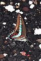 Milon´s Swallowtail (8410693469).jpg