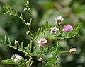 Mimosa hamanta (Gulabi babhul) in Hyderabad, AP W IMG 9138.jpg