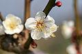 Minabe-Bairin Minabe Wakayama17bs2700.jpg