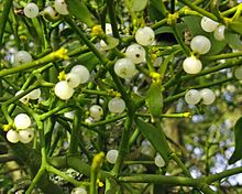 Mistletoe growing on a tree, showing white berries in medium close-up