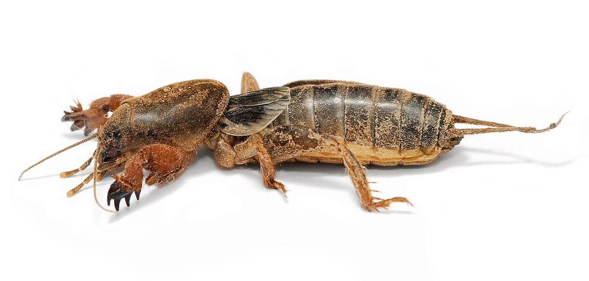 Mole cricket - Wikipedia