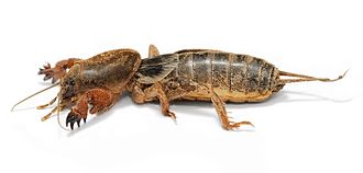 Ensifera - A mole cricket, showing the front legs specialised for digging