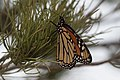 Monarch Butterfly (resting during migration) Rusty's Rodeo NM 2017-10-14 18-30-37 (23887701178).jpg