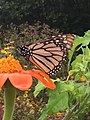 Monarch Butterfly at Tudek Park.jpg